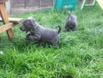 Staffordshire bull terrier male pups [sold].