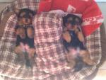 Pure YorkshireTerrier Pups for sale for sale.