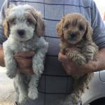 Cavapoo pups [sold].