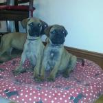 Bullmastiff puppies for sale.