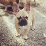 French Bulldog pups [sold].