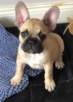 French Bulldog pups for sale.