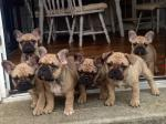French Bulldog Puppies [sold].