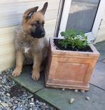 Pure Breed German Shepherd [sold].