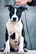 American Staffordshire Terrier [sold].
