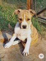American Staffordshire Terrier with pedigree [sold].