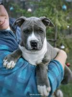 American Staffordshire Terrier pure breed [sold].