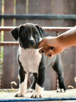 American Staffordshire Terrier puppies pure breed for sale.