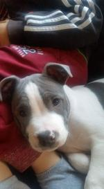 Stafforshire blue terrier [sold].