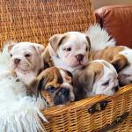 British Bulldogs for sale.