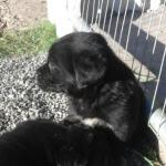 3/4labrador x 1/4 berneise mountain pup [sold].
