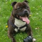Roman: Staffordshire bull terrier [sold].