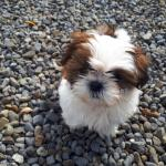 Shih Tzu Pups for sale.