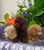 Toy Poodle [sold].