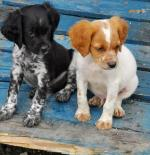 Brittany Spaniel [sold].