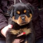 Rottweiler for sale.