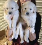 Golden Retriever Pups [sold].