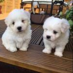 Only 1 Left! Last Chance! Royal Dog of Madagascar - The Rare Coton de Tulear for sale.