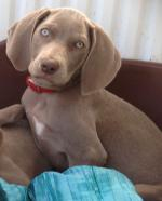 Weimaraner puppies [sold].