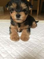 Yorkshire Terrier puppy [sold].