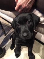 Labrador [sold].