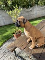Beautiful Boxer Puppies for sale.