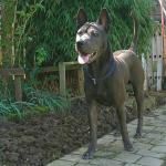 Thai Ridgeback Puppies [sold].
