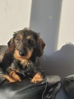 Miniature wirehaired dachshunds for sale.
