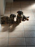 Miniature wirehaired dachshund [sold].