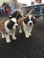 St. Bernard Puppies [sold].