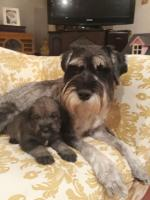 Standard Schnauzer Litter for sale.