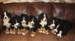 Bernese for sale.
