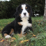 Bernese mountain dogs for sale.