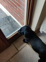 Goldador Puppies 2 remaining for sale.