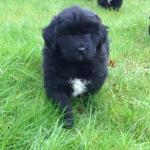 Newfoundland pups for sale.