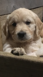 Golden Retriever Puppies [sold].
