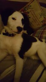 Dotty/Collie for sale.