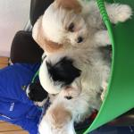 Havanese for sale.