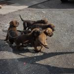 Presa canario/dogue de bordeaux for sale.