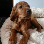 IRISH SETTER PUPS - BOOKING for sale.