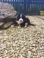 Bernese Mountain Dog Pups for sale.