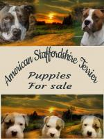 American Staffordshire Terrier for sale.
