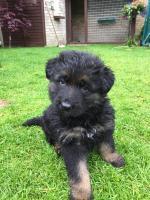 German Sheperd Puppies [sold].
