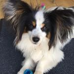 Pure breed Ikc registered papillon puppies for sale.