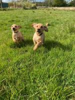 Labrador puppy for sale.
