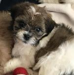 Teddy bear puppies for sale.