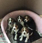 5 Beagle puppies [sold].