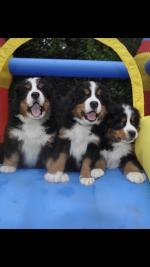 Bernese mountain dog puppies [sold].