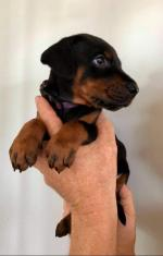 Top Quality Pedigree, World Renowned bloodline, IKC REGISTERED Puppies for sale.