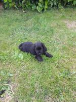 IKC Cocker spaniel puppies for sale.